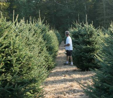 Checking out the fraser fir trees in the back field.