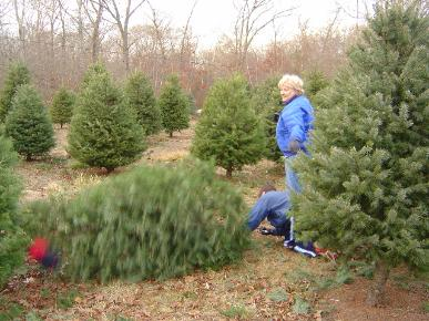 If possible, carry your tree rather than drag it to avoid damaging needles.